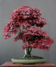 JY: Japanese Red Maple (Acer Palmatum)