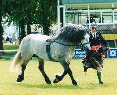 highland pony stallion | Fyfedene (Imp) Highland Pony Stallion and Scott McGregor