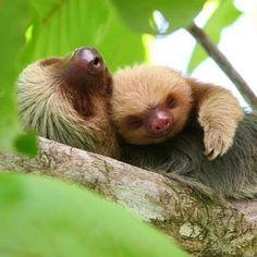 Sloth 'Catnap'  Fat Cats Lucky Dogs (@fatcatnluckydog) | Twitter