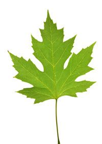 How to Identify Tree Leaves