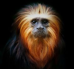 Golden Headed Lion Tamarin ,First offering of 2012 (by Steve - 1 Million+ (safe) views - thank you)