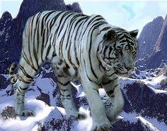 "White Siberian Tiger | WHITE SIBERIAN-TIGER - (""Hulan"")"