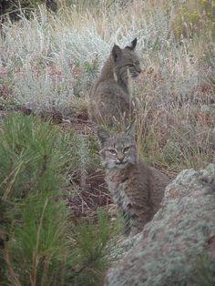 Young bobcats