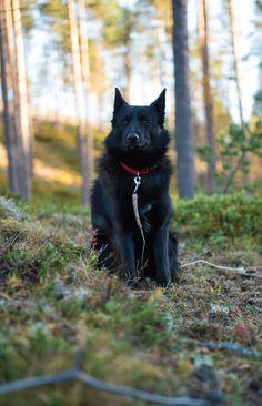Råtass - Sort norsk elghund / Black norwegian elkhound.