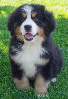 Bernese Mountain Dog... er, Puppy :) SO sweet.