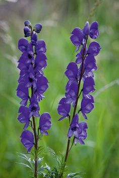 wedding ideas for purple purple flowering perennial purple monkshood has leaves 28155