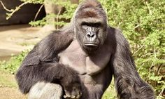 Gorilla named Harambe McHarambeface at Chinese zoo after public vote