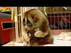 Nycticebus - Lo sguardo dell'animale più tenero del mondo - Animali