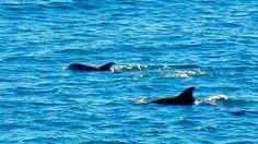 Dolphin sighting. Photo courtesy of Navarre Beach/Historic Milton – Florida's Playground Pensacola Beach, Destin Beach, Beach Condo, Beach House, Milton Florida, Jekyll Island Georgia, Navarre Beach, Florida Sunshine, Visit Florida