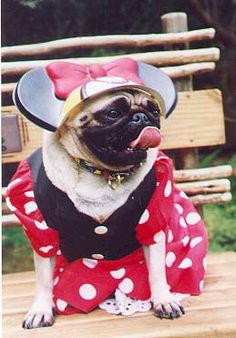 Funny dressed bulldog picture!