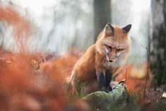 [Trending] Meet Freya, The Beautiful Fox I Photographed In Polish Woods, Freya is a pet fox born in April At very first, she was really aggressive towards men and women but Roxanne was incredibly patient with Freya Fantastic Fox, Fabulous Fox, Beautiful Creatures, Animals Beautiful, Fuchs Baby, Animals And Pets, Cute Animals, Wolf Hybrid, Foxes Photography