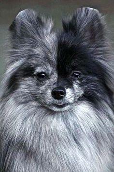 A BEAUTIFUL Blue Merle Pomeranian