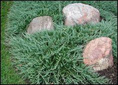 Juniperus Horizontalis Wiltonii Blue Rug Juniper Creeping 24 Pots 3 1 2 In Garden Ideas Pinterest Yard Evergreen And Plants