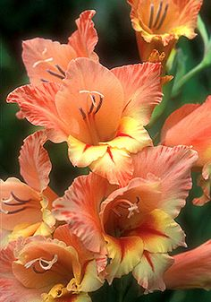 Gladiolus 'Starface' 1960 - Charmingly small-flowered, it has upper petals of dappled apricot and lower petals of pale yellow spiked with ruby.
