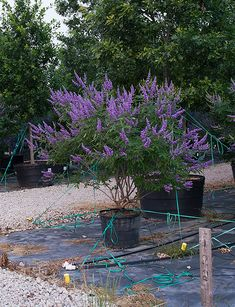 Vitex Shoal Creek - Kindergarten in Dallas, Texas - Treeland Texas Landscaping, Outdoor Landscaping, Landscaping Plants, Front Yard Landscaping, Landscaping Ideas, Acreage Landscaping, Deciduous Trees, Trees And Shrubs, Flowering Trees