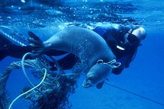 Marine Conservation News: August Researchers rescued nine Hawaiian monk seals caught in fish nets and other marine debris. Hawaiian Monk Seal, Great Pacific Garbage Patch, Marine Debris, Save Our Oceans, Marine Conservation, Plastic Pollution, Ocean Pollution, Animals Of The World, Endangered Species
