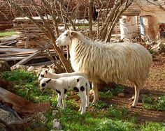 A sheep and her young twins in the village of Armeni on the Greek island of Crete Lambs, Crete, Greek Islands, Ancient Greek, Livestock, Countryside, Sheep, Goats, Twins