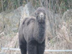 Young camel by Romuald Statkiewicz
