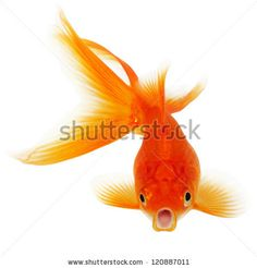 The discovery of hundreds of goldfish in Parleys Creek has wildlife officials worried about the larger trend of people releasing aquarium fish into the wild, and the impact it has on native fish. Koi Fish Pond, Koi Carp, Fish Ponds, Betta Fish, Fish Information, Real Instagram Followers, Fish Clipart, Fauna Marina, Carpe Koi
