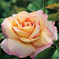 'Peace' hybrid tea rose