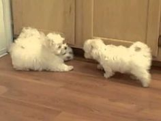 Lacey's Maltese Puppies - YouTube