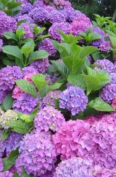 so often we see white Hydrangea, but these blue, purple & pink shades sure give them a run for their money. Hortensia Hydrangea, Hydrangea Garden, Hydrangea Flower, All Flowers, Flowers Nature, Purple Flowers, Beautiful Flowers, Purple Hydrangeas, Flower Landscape