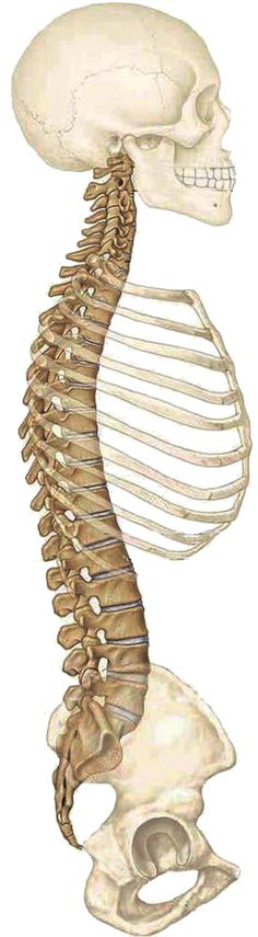 comment la colonne est intégrée dans le corps
