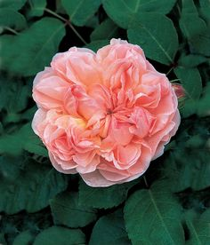 'Evelyn' is a David Austin English Rose. This is one of my favorites of the David Austin English Roses that we have in our garden. Parfum Rose, Rose Perfume, David Austin Rosen, Rose Foto, Shrub Roses, Fragrant Roses, Old Rose, Garden Shrubs, Diy Garden
