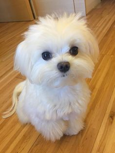 Such A Little Cutie Acirc Curren Iuml Cedil Cute Animals Baby Dogs Cute Teacup Puppies, Cute Dogs And Puppies, Baby Dogs, Pet Dogs, Pets, Doggies, Cute Tiny Dogs, Havanese Dogs, Havanese Puppies