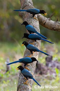 Stock Photo - A group of adult and immature Yucatan Jays (Cyanocorax yucatanicus) lined up along a branch Kinds Of Birds, All Birds, Little Birds, Love Birds, Pretty Birds, Beautiful Birds, Animals Beautiful, Beautiful Pictures, Exotic Birds