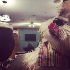 #tongueouttuesday That is all!! #tot #alfietheangryshihtzu #dogblog #shihtzu #norton