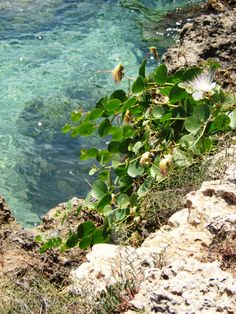 A lonely caper plant on the reefs