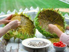 How to harvest sunflower seeds  areturntosimplicity.com