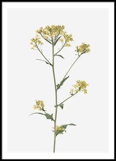 Brassica Flower, julisteet ryhmässä Julisteet  / Valokuvat @ Desenio AB (8495)