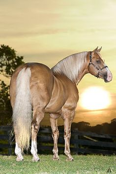 Palomino horse shining in the sunset.