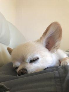 Chihuahua is sleepin #chihuahua is sleeping