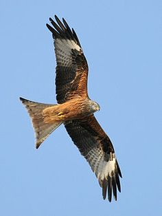 The Red Kite (Milvus milvus) - a national symbol of Welsh wildlife Thomas Kraft (ThKraft) - Own work Flight Feathers, Bird Feathers, All Birds, Birds Of Prey, Milan Vogel, Les Fables, Red Kite, National Symbols, Fauna