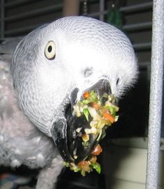 Abby, my Congo African Grey - eating her breakfast! Love it when they get it on their beaks!  How CUTE is this???!