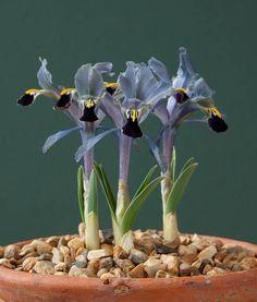 Home - Alpine Garden Society Plants, Wild Iris, Alpine Garden, Flowers, Rock Garden, Iris Flowers, Rhizome, Most Beautiful Flowers, Flower Garden