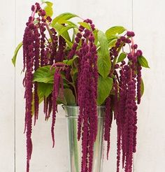 This page gives instructions on how to buy amaranth flower seeds from David's Garden Seeds. Cut Flower Garden, Flower Farm, Amaranth Flower, Amaranth Plant, Amaranthus, Annual Flowers, September Flowers, Garden Types, Garden Web