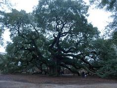 Wow!  Incredible Oak tree!
