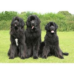 Newfoundland Dogs                                                                                                                                                                                 More