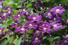 Image result for purple clematis