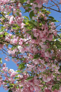 Cherry tree, it may only be in blossom a few days but is well worth the wait