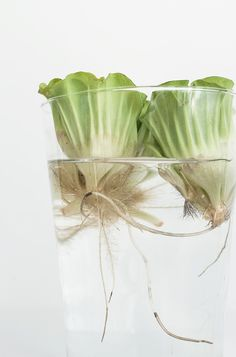 Tuba 4: Pistia rozetkowa (Pistia stratiotes L.) glass tube, home garden, water plant, nature, water lettuce / more on https://www.facebook.com/mchyporosty.news