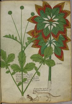ragweeds: Miniatures of plants, and a cat and mouse - (Tractatus de Herbis - Sloane 4016 f. 40) by peacay on Flickr.