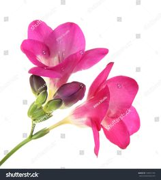 Pink Freesia Flower Isolated On White Stock Photo (Edit Now) 128551745 Freesia Flowers, White Stock Image, Kew Gardens, Florals, Embellishments, Photo Editing, Royalty Free Stock Photos, Sleeve, Illustration