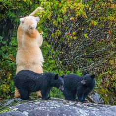 Two Spirit Bear (Kermode Bear) cubs wait patiently while their mother gorges on crab apples in the Great Bear Rainforest of British Columbia.  In this part of the world, approximately one in ten black bears turns pure white from a rare recessive gene.  With @cristinamittermeier // #bear #kermodebear #spiritbear #cute #baby #pretty #10by2020 #wildlife #gratitude #explore #nature #smile #love #beauty #adventure #travel @natgeocreative @thephotosociety #instagood #tbt #follow #followme…