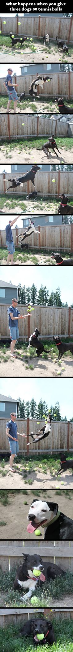 This Is What Happens When You Give 3 Dogs 60 Tennis Balls – 10 Pics