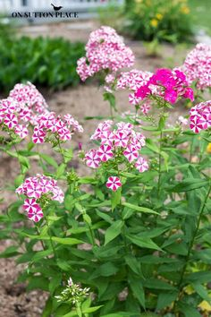 "Peppermint Twist Phlox (Phlox paniculata) - pink and white striped flowers, good for sunny border, 12 - 18"" high, blooms for 4 weeks, dies back in winter, then comes back again in early summer"